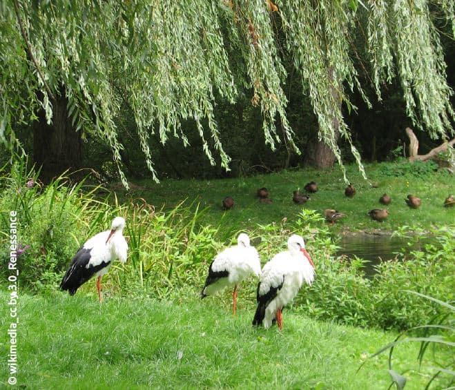 Im Tierpark Essehof leben zahlreiche Weißstörche.